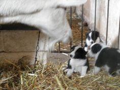 border collie con capra curiosa