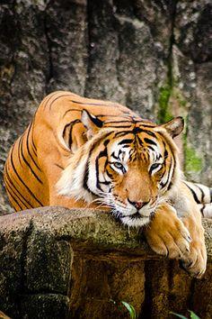 Malayan Tiger ~ By Fitria Ramli