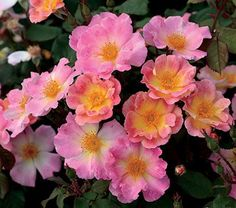 Rose Watercolors Home Run® This amazing variety has blossoms that appear in shades of golden yellow with flushes of sweet pink, the colors shifting and changing as the blooms mature.