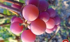 """""""Grape"""" News for Your Heart Health (French"""