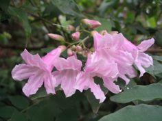 Flores da Serra.