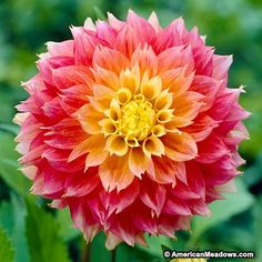 Rare Two Color Dahlia Flower Bonsai Mexico's National Flower Garden Plants Garden Supplies Home Potted Bonsai 10 Pcs/Bag Rare Two Color Dahlia Flower Bonsai Mexico's National Flower Garden Plants Garden Supplies Home Potted Bonsai 10 Pcs/Bag Short Plants, Large Plants, Exotic Flowers, Beautiful Flowers, Rare Flowers, Tropical Flowers, Simply Beautiful, Peony Root, American Meadows