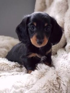 Daschund Puppies For Sale, Dachshunds For Sale, Baby Puppies For Sale, Mini Puppies, Cute Dogs And Puppies, Doggies, Funny Dachshund, Mini Dachshund, Cute Baby Animals