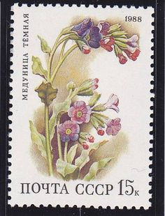 Pulmonaria Obscura, Unspotted lungwort or Suffolk Lungwort. Russian Stamp, circa 1988