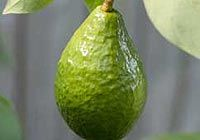 avocado-oil for skin care..classified as a vegetable oil, but, it's really a fruit since it has a stone..rich in Vit A,D, & E.  It Reduces age spots, increases collagen, & is easily absorbed in the skin .