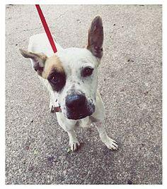 Everman, TX - Great Dane Mix. Meet Joe, a dog for adoption. http://www.adoptapet.com/pet/16436147-everman-texas-great-dane-mix