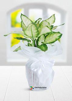 Dieffenbachia Saksı Çiçeği kocaman iri yaprakları ve açık yeşil yaprakları ile evinizin baş köşesinde bakacağınız bir saksı çiçeği.Siparişinizi cicekhediyemarket kalitesi ile uygun fiyatlar ile verebilirsiniz. cicekhediyemarket.com