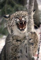 Image result for Bobcat