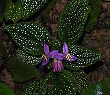 Sonerila maculata Paludarium, Vivarium, Glass Pavilion, Potted Plants, Shrubs, White Flowers, Habitats, Flora, Leaves