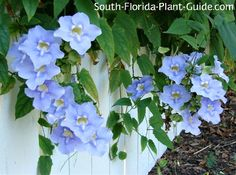 Sky Vine Thunbergia grandiflora Fast growing sky vine reaches for the sky, decorated with ravishing summer flowers in blue with a hint o...