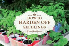 If you harden off seedlings, they'll be strong when transplanted and able to withstand full sun, light breezes, spring rains, and fluctuating temperatures.