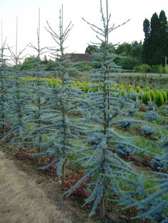 Blue Atlas Cedar- Charlie brown Christmas tree come to life. Love these!