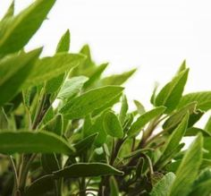 Echinacea and Sage. Got an aching throat? Some research shows that throat sprays containing sage or echinacea can help provide relief fro. Salvia, Herb Guide, Small Herb Gardens, Types Of Herbs, Natural Fertility, Herbs Indoors, Medicinal Herbs, Fresh Herbs, Fragrance Oil