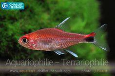 Axelrodia riesei | Challet-Herault Aquariophilie Terrariophilie