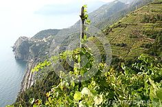 Photo about Vineyard by the sea in Liguria. Image of industry, landscape, grow - 31647781 Vines, Vineyard, Country Roads, Sea, Landscape, Nature, Image, Outdoor, Outdoors
