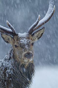 https://flic.kr/p/dbC33U | Red-deer-in-winter-storm-Brian-Chard | Native 2012