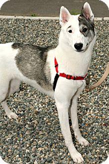 Seattle, WA Alaskan Malamute Mix. Meet KIAH, a dog for