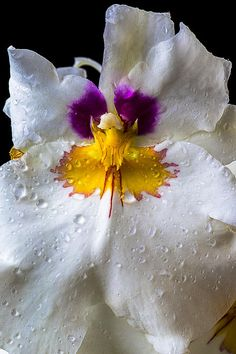 Miltonia White Orchid With Dew