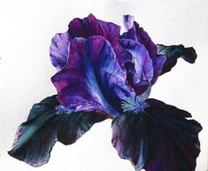 Online galleries of original flower paintings and watercolours by contemporary botanical artist Rosie Sanders. Iris Flowers, Botanical Flowers, Botanical Prints, Botanical Drawings, Botanical Illustration, Watercolor Illustration, Watercolor Flowers, Watercolor Paintings, Watercolors
