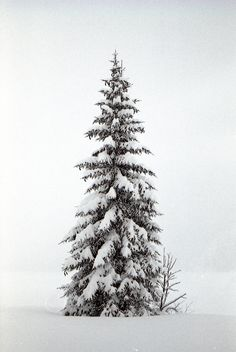Snow covered tree