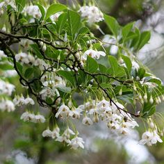Styrax Japonicus - Japonese Snowbell (tree in the side yard)