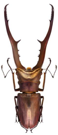 Cyclommatus metallifer metallifer #battle #weaponary #defense