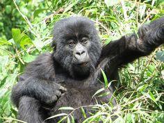 Mountain Gorillas in Ruhengeri, Rwanda #virtualtourist
