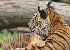 Blodets bånd i dyreriget (© Derek Dammann/Getty Images)