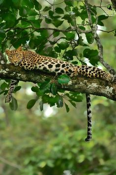 Beautiful Leopard in a tree Animals Of The World, Animals And Pets, Cute Animals, Wild Animals, Beautiful Creatures, Animals Beautiful, Beautiful Cats, Photo Animaliere, Clouded Leopard
