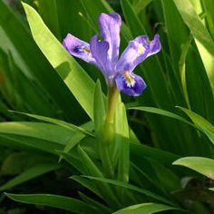 The dwarf lake iris grows only in the Great Lakes area and most of the world's population of this iris is found within the borders of Michigan. The dwarf lake iris is considered threatened on the state and federal levels.