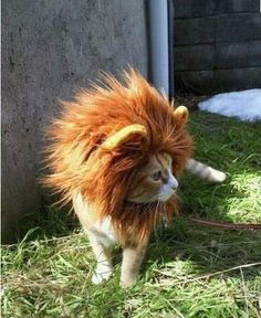 This cat is going back to his roots with a lion costume. It doesn't take much to create this transformation and it is sure to be a head-turner.