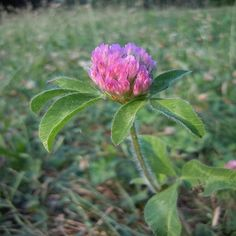 Foraging Red Clover for Medicine and Food.  Not just a nitrogen fixer, it can be used as flour, tea, and to treat  excema... who knew?!