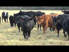 Georgia beef cattle producers have been enjoying higher prices in recent years.  But as all farmers are all aware… high prices don't stay around forever. The Monitor's Mark Wildman has an update on cattle prices and what the economists are saying about the Georgia market.