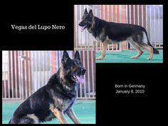 Vegas del Lupo Nero - Father of Kenai's puppies due 2/19/15.  #GermanShepherd #gsd