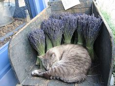 A Cat Sleeping in a Wheel Barrow with Lavender. So Wonderfully French!!!