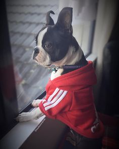 Another #tbt when my ears still fold back #bostonterrier #ibostonterrier #bostonterrierlove #bostonterrier_feature #bostonterriersofinstagram #bostonterriercult #bostonterriersforever #bostonterrieroverload #bostonterrierfamily #dog_features #doglife #flatnosedogsociety #btcult#hankandhound#dogsandpals by macbostonterrier
