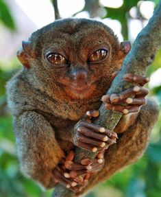 tarsier--tree-dwelling primates.   They look kind of like aliens.