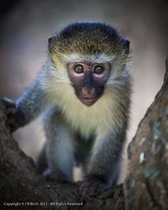 Young Vervet Monkey Super Cute Animals, Cute Baby Animals, Animals And Pets, South Africa Wildlife, Types Of Monkeys, Amazing Animal Pictures, Magnificent Beasts, Young Animal, Cute Monkey