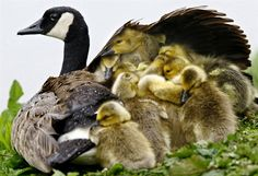 Her goslings seek shelter from the rain under the wing of their Canada goose mom at a park in Roseburg, Wed., April 23, 2008, in southwestern Oregon.
