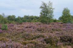 #Natur Ein Besuch des Naturschutzgebietes Drover Heide ist im Spätsommer bis in den Herbst hinein besonders schön: http://pagewizz.com/naturschutzgebiet-drover-heide-31631/