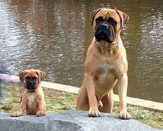 Cute puppies, English Mastiffs.  look at those faces - in stereo!