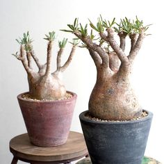 caudex : Bizarre Plants