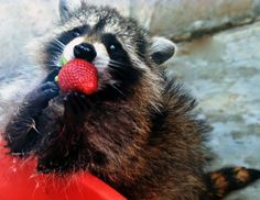 Racoon eating strawberry