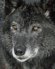 "Wolves:  ""Black #Wolf,"" by njchow82."