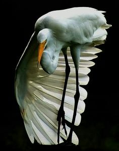 Great Egret. this bird was almost wiped out due to a fashion trend for its feathers