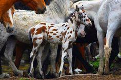 bay leopard - unknown Altai foal