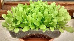 Si nos animamos a poner un huerto urbano, la lechuga es una buena alternativa, sencilla y rápida, en un mes podemos disfrutar de una fresca y crujiente ensalada