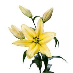 Lilium Oriental pontiac