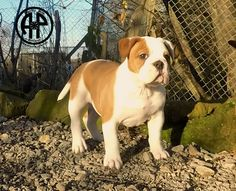 AP Rush. Continental Bulldog Female. On Pic ten Weeks old. www.asgards-pride.com Continental Bulldog, Bulldog Breeds, Bully Dog, English Bulldogs, Boxers, Pitbulls, Pride, Babies, Female