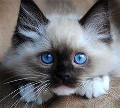 Ragdoll kitten, mitted seal point